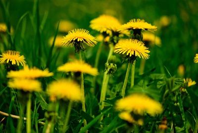dandelion-yellow-2