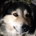Mixed arctic wolf/collie/husky