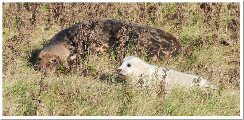 mother and seal pup at donna nook