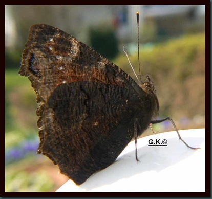 x Schmetterling