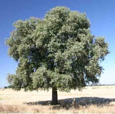 اشجار برية Quercus_ilex.jpg