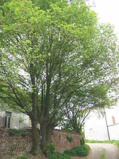 اشجار برية ulmus_campestris.JPG
