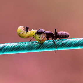 Dinner Time by Becky Patlan-Garcia - Animals Insects & Spiders ( dinner, army ant, wire, caterpillar, ant, hungry, black )