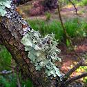 Lichen Cluster
