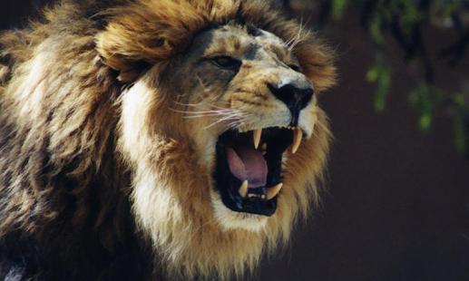 【免費個人化App】非洲獅子壁紙-APP點子