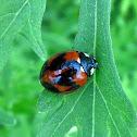 Transverse Ladybird