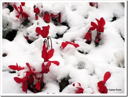 Cyclamen flowers pocking through the snow in Cologne