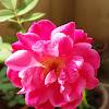 Red-Rose