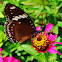 Great eggfly Butterfly