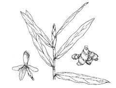 Aframomum melegueta K  Schum  (Zingiberaceae) Alligator Pepper