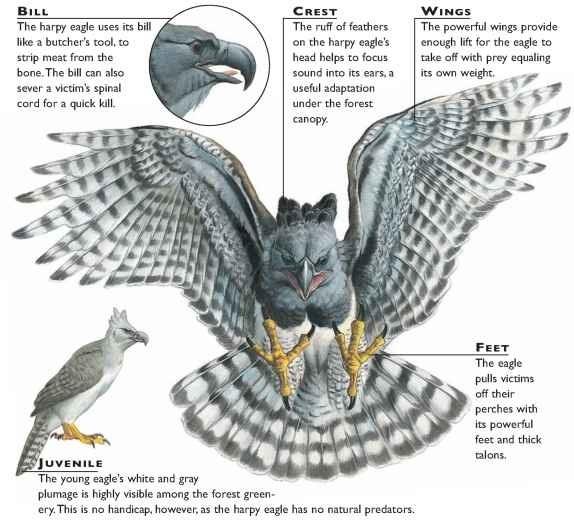 american harpy eagle birds