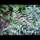 Painted Fern