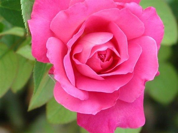 [rosas (2)[2].jpg]