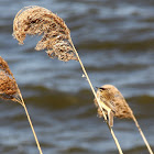Sedge Warbler - Rákosník proužkovaný