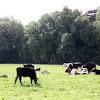 Hostein Cattle