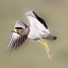 Yellow-wattled lapwing..taking off by Vijendra Parmar - Animals Birds ( birding in udaipur, yellow-wattled lapwing, taking off, birding in india, bird photography, birding taking off )