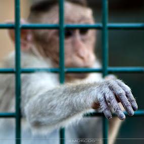 Freedom  by Khalil Morcos - Animals Other ( zoo, freedom, abu dhabi, nikon, monkey, animal )
