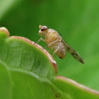 Dotted-Wing Lauxaniid Fly