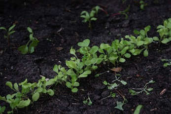 growing lettuce seedlings