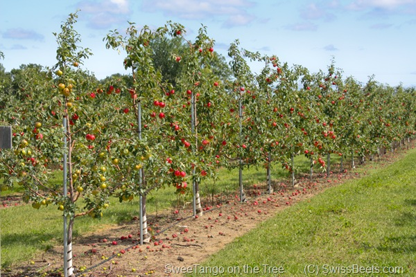 SweeTango Orchard
