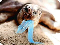 turtleingestingplastic_430x323