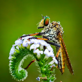 Robber Fly by Ben Bebe - Animals Insects & Spiders (  )