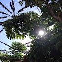 Jhalna tree or hollock tree