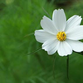 Cosmos by Golam Kibria Sumon - Flowers Single Flower ( bangladesh, nature, cosmos, flower )