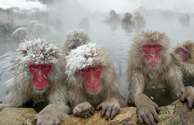 Japanese Snow Monkeys relaxing in a hot spring   Amusing ... - photo#14