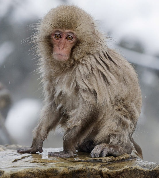 snow-monkeys (8)
