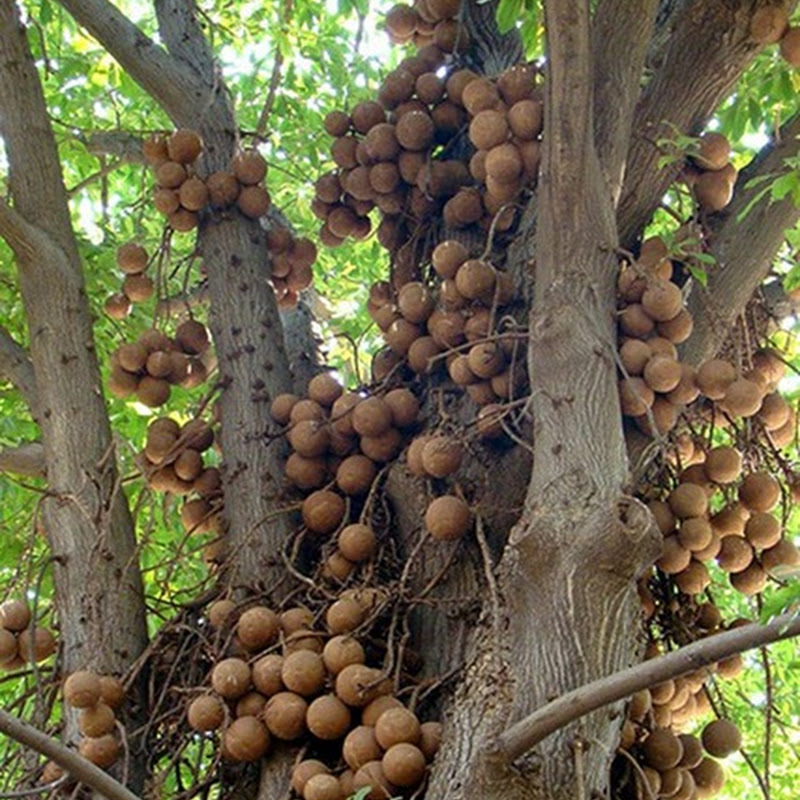 The Cannonball Tree