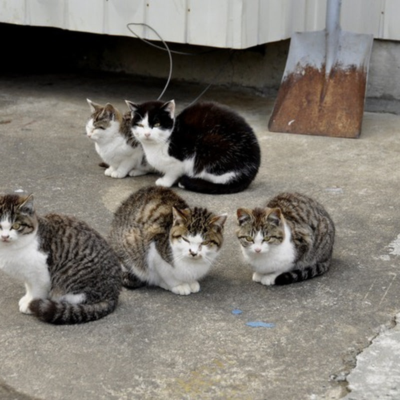 Tashirojima - The Cat Island of Japan