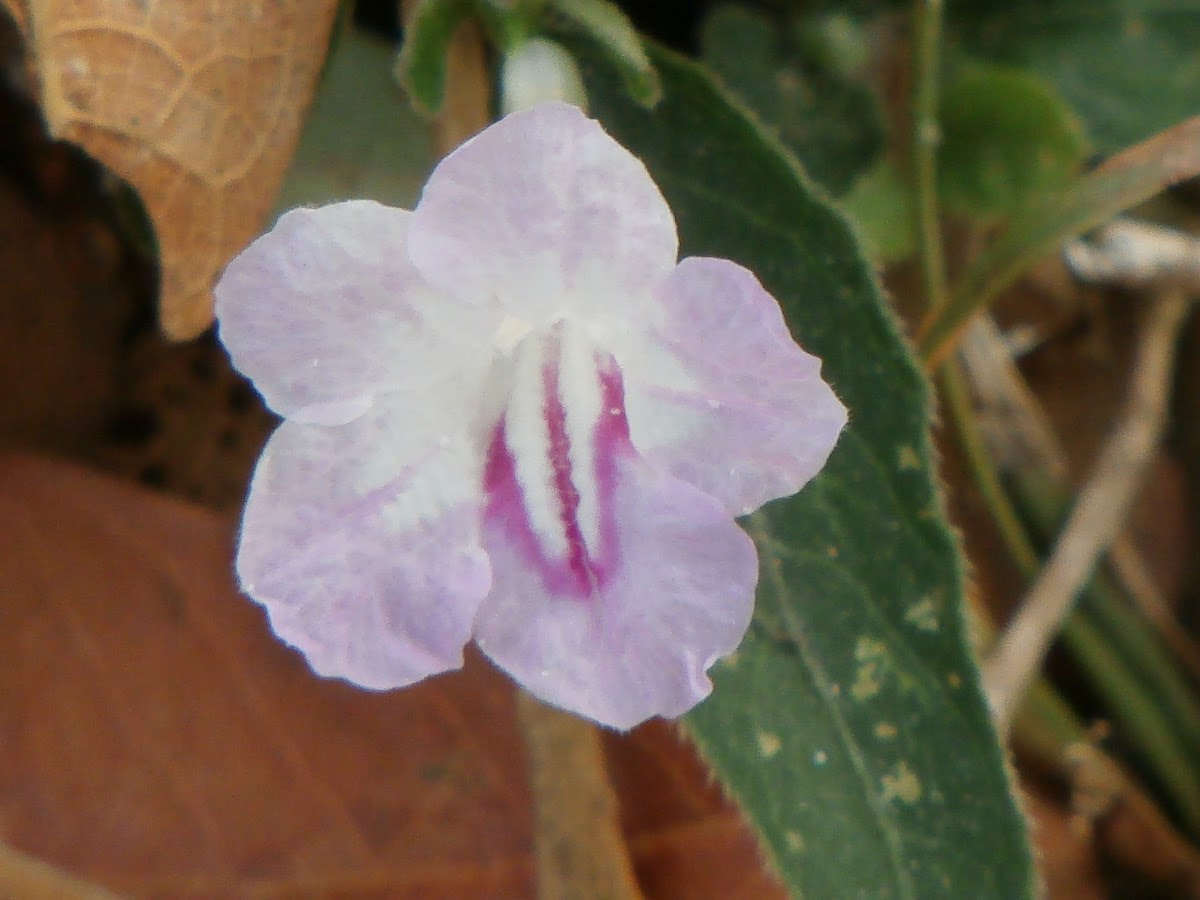 Creeping Ruellia