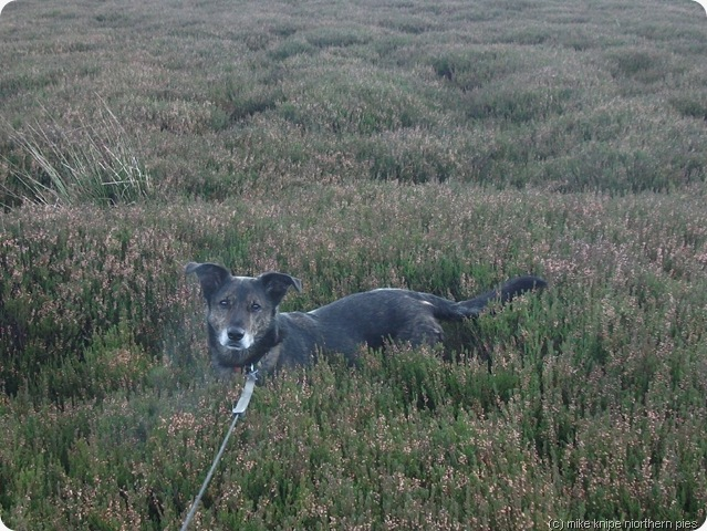 dawg in heather