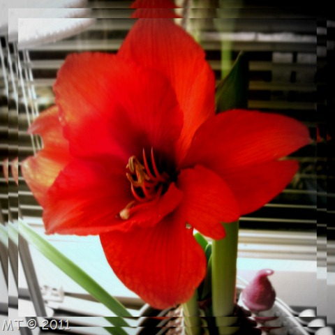 Amaryllis Collage9