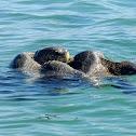 Green sea turtles (mating)