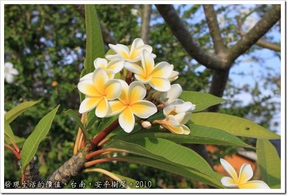 「雞蛋花」,正式名稱叫「緬梔」