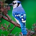 Bird's Voice icon