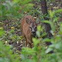 Roe deer (dt. Reh)