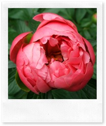 peony-coral
