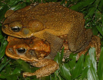 a research on the australian cane toad Scientists have identified a runaway evolutionary effect that could be speeding up the cane toad invasion in australia.