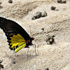 Common Birdwing