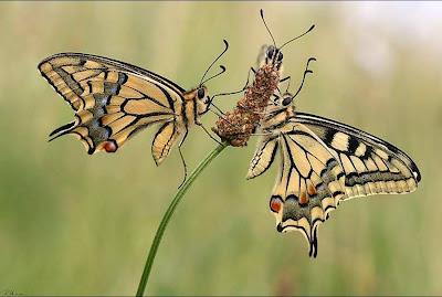 kelebek falı
