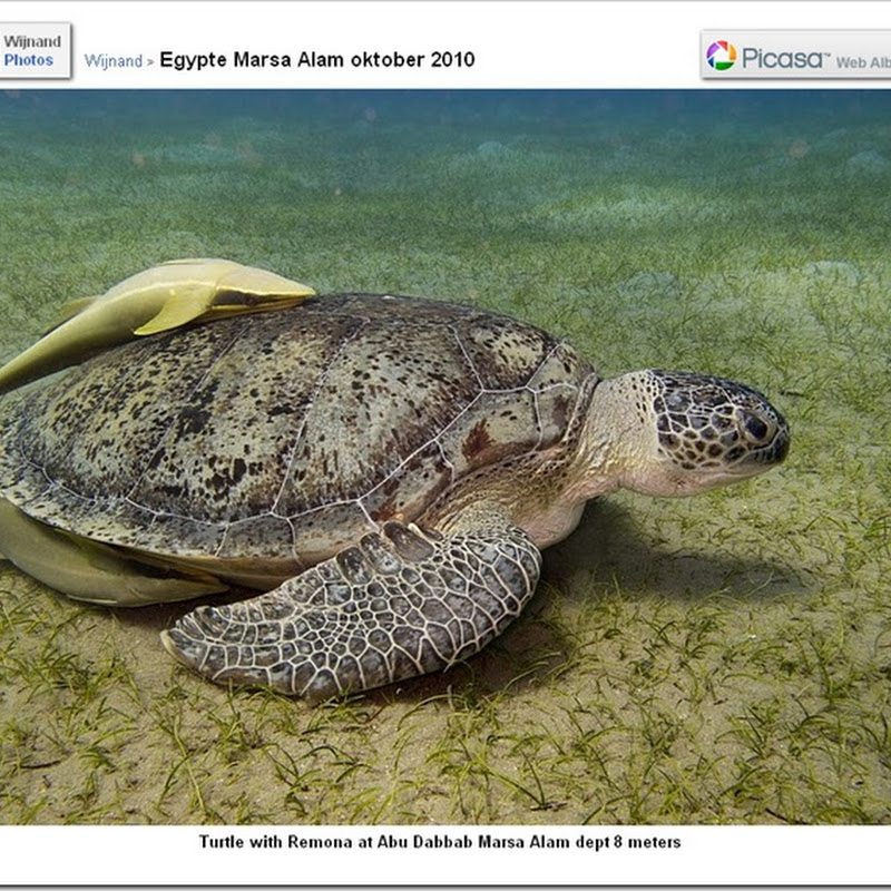 Sea Turtle with 2 Parasitical Guests