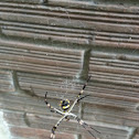 Silver argiope, Silver garden spider. Argiope Argentata