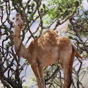 by Lynn Morley - Animals Other ( grace, camel, desert, tree, green, eating, beauty )