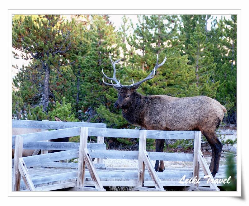 Bull Elk (雄性加拿大馬鹿),  黃石公園