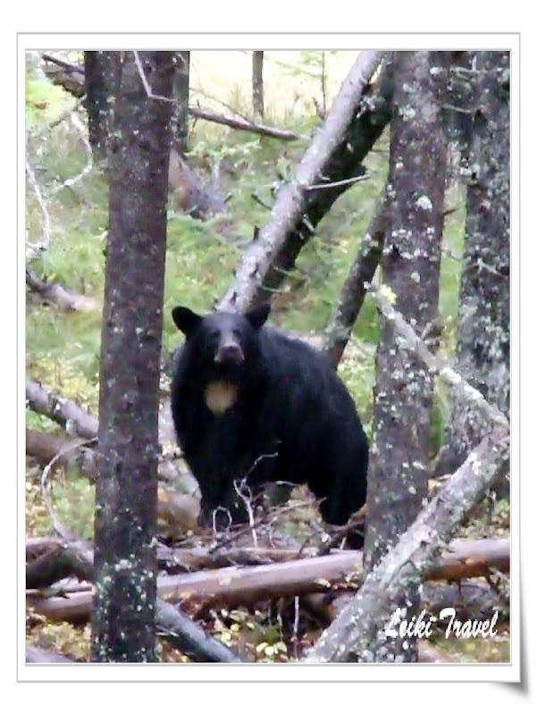 美國冰河公園,熊熊熊