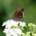 White-edged Cloudywing