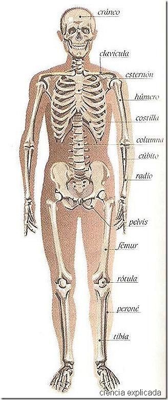 esqueleto humano 2